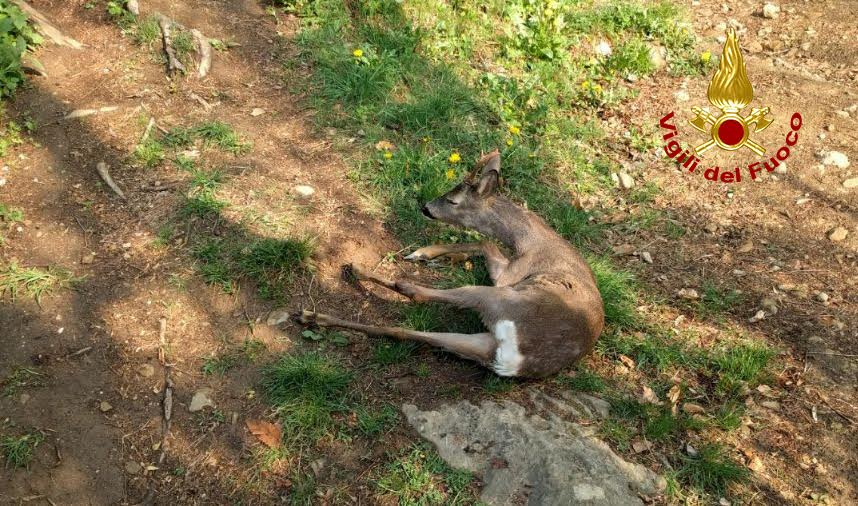 Capriolo in un canale messo in salvo l 39 eco vicentino for Capriolo animale